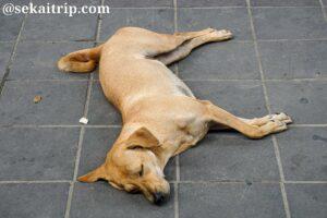 タイ・バンコクの犬