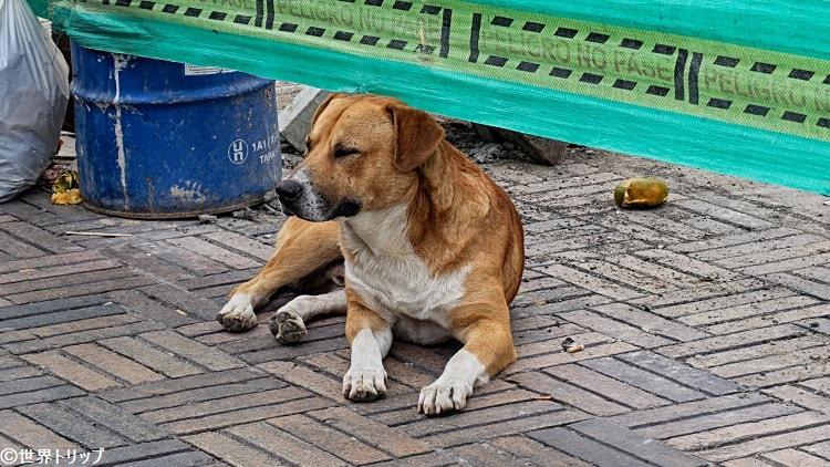 ボゴタのボリーバル広場(Plaza de Bolívar)にいた野犬