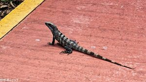 カンクンにいる野生のイグアナ