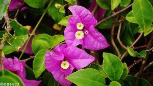 ナンルーン競馬場近くで撮影した花