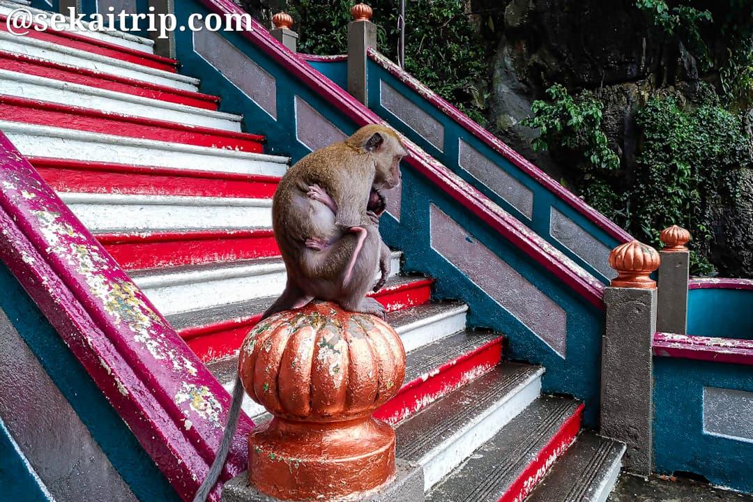 バトゥ洞窟で見かけた猿の親子