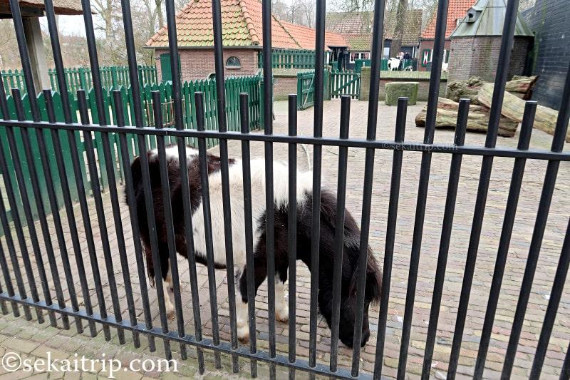 アルティス動物園(ARTIS)で暮らしているポニー(?)