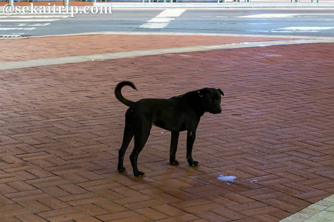 ギャラクシー・マカオ付近で見かけた野犬